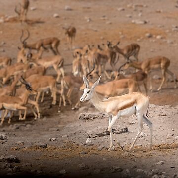 Springbok and Impala Herd by Frogvision