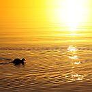 Coot at Sunrise by Jo Nijenhuis