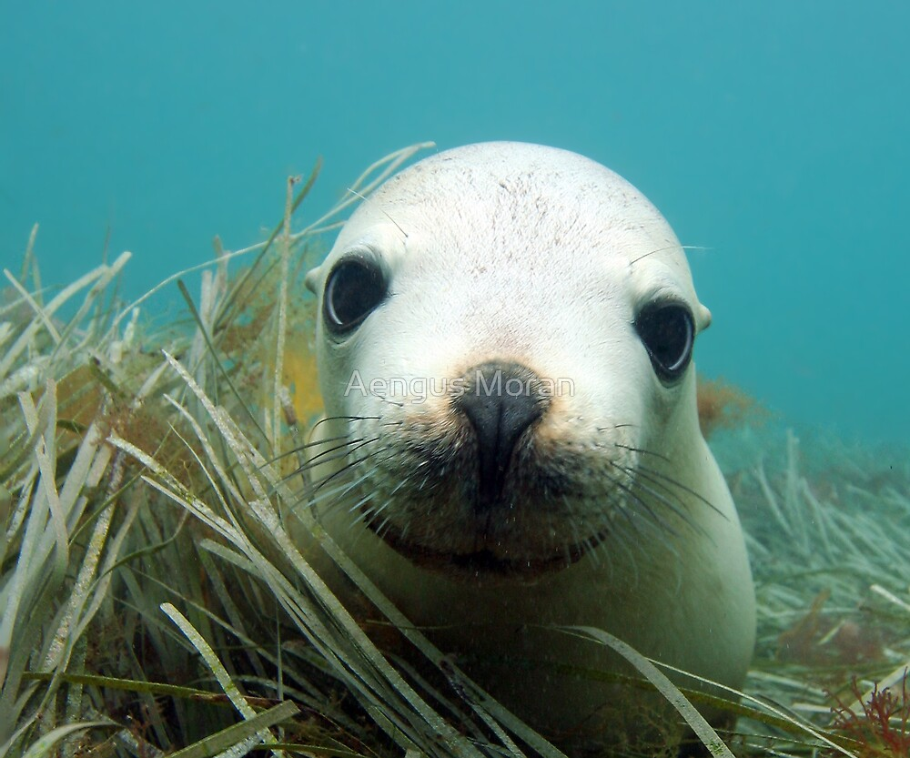 Australian Sea Lion by Aengus Moran
