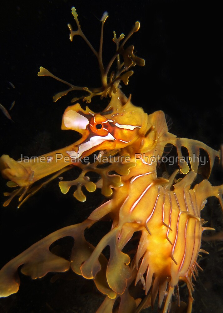 Leafy Seadragon Face. by James Peake Nature Photography.