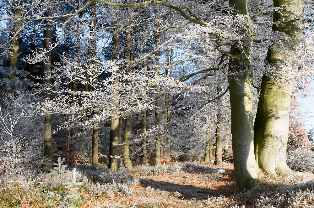 Frosty beeches 1 by duncananderson
