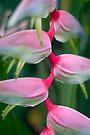 Alluring Sexy Pink by Kerryn Madsen-Pietsch