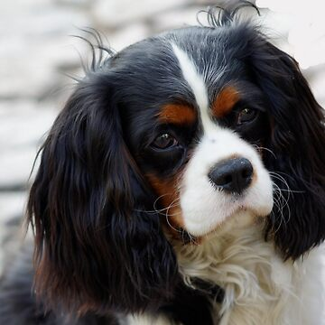 cavalier king charles spaniel second by marasdaughter