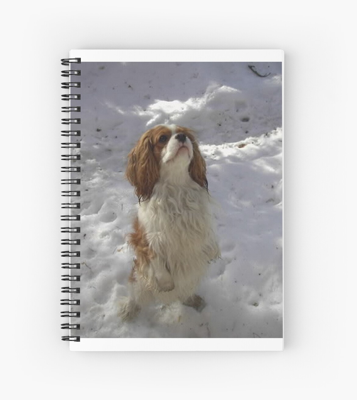 cavalier king Charles spaniel sitting up in snow by marasdaughter