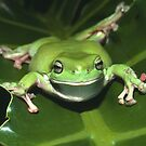 Green Tree Frog by Andrew Trevor-Jones