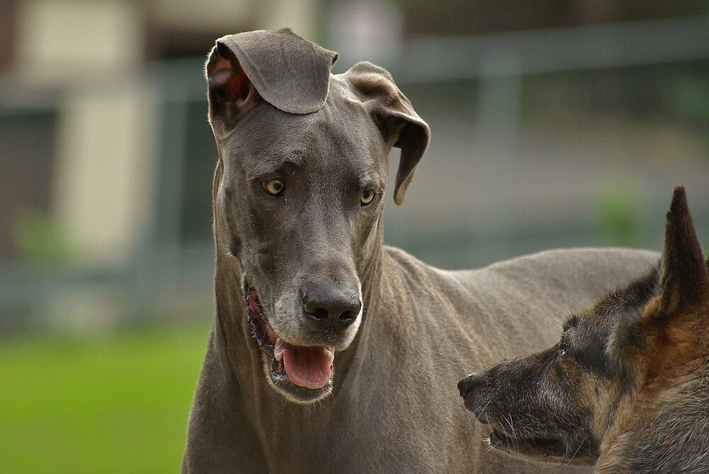 Playful Great Dane  by Idil