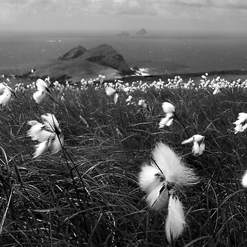 Cotton Grass by webdoctor