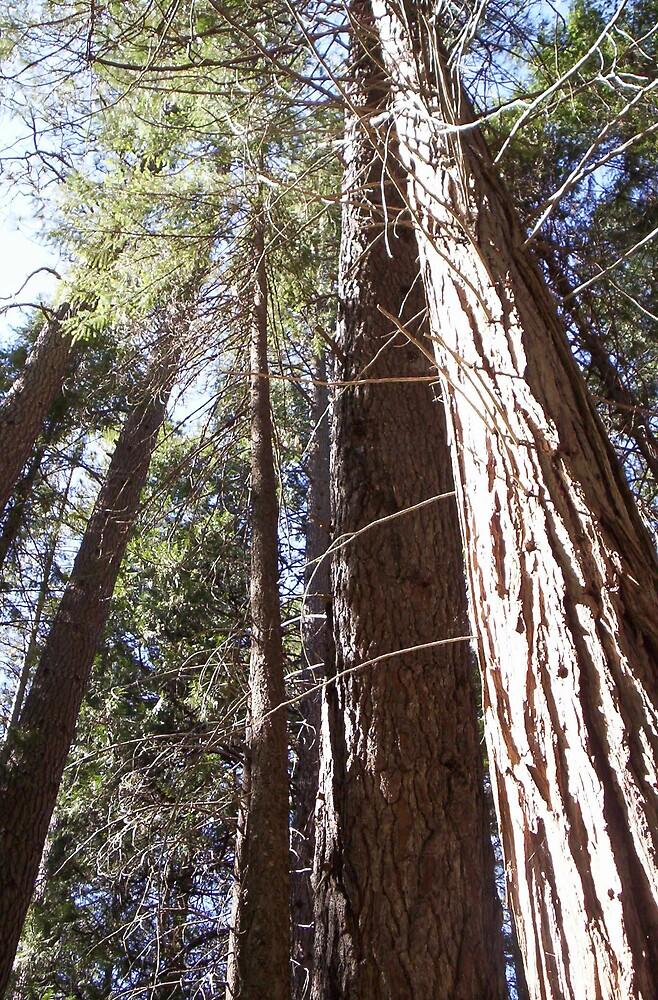 Sequoias by clou