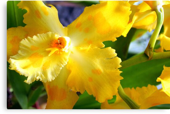 Yellow Orchid (cattleya) by Laurel Talabere