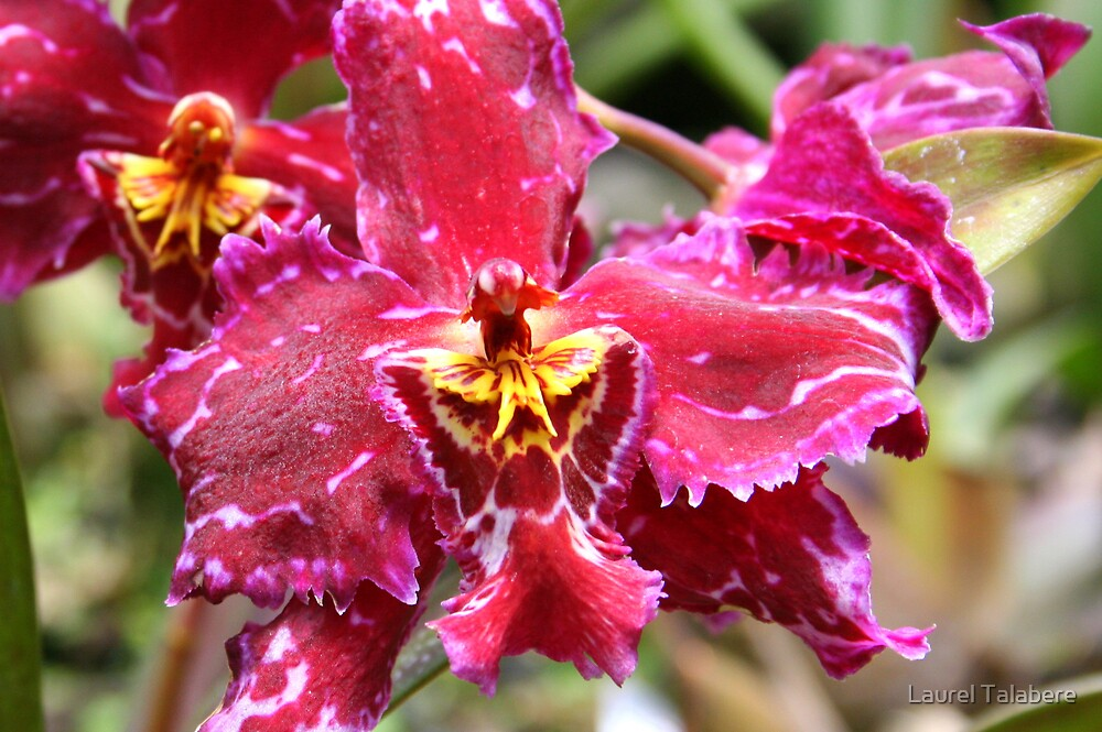 Magenta & Yellow Orchid by Laurel Talabere