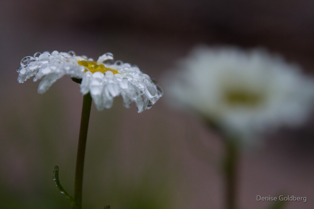 Raindrops on daisies by Denise Goldberg
