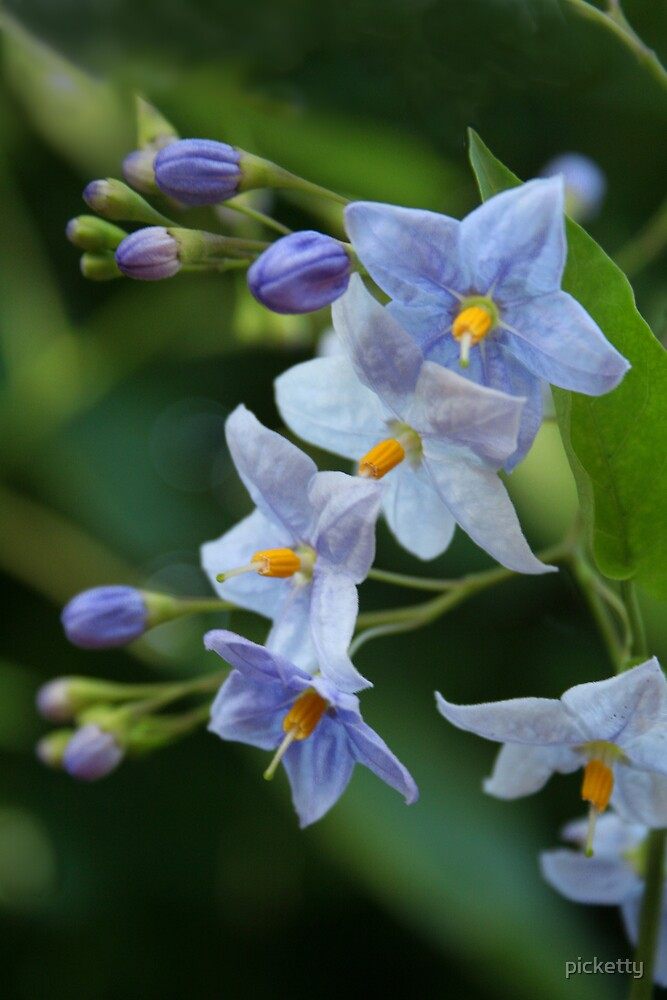 Quot Blue Solanum Jasminoides Quot Potato Vine Quot Quot By Picketty