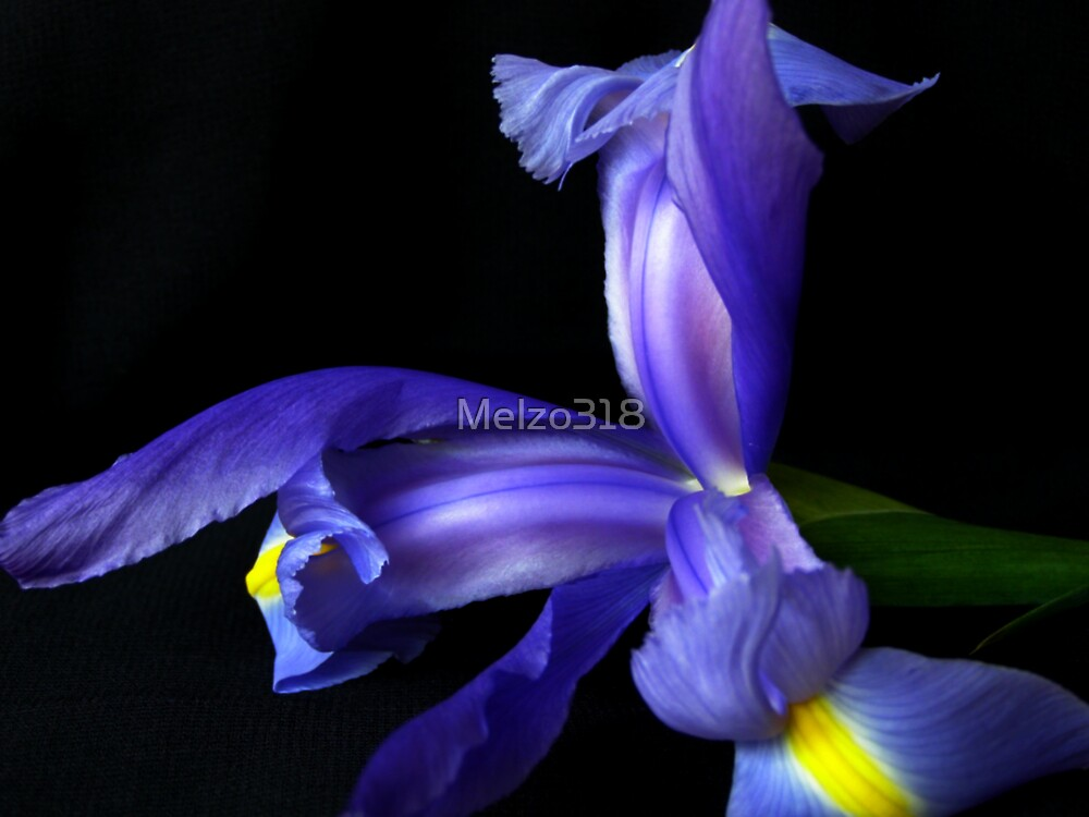 My Iris by Melzo318