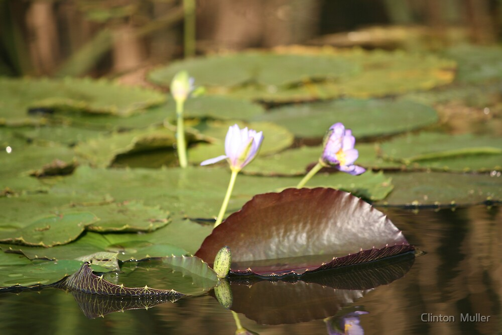 Water Lily by Clinton  Muller
