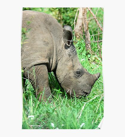 UP CLOSE THE BABY RHINO - White Rhinoceros - Ceratotherium simum  -  WIT RENOSTER Poster