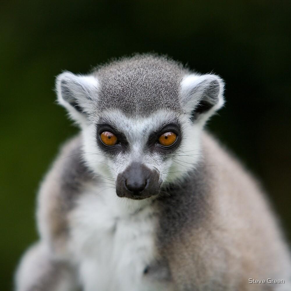 Lemur by Steve Green