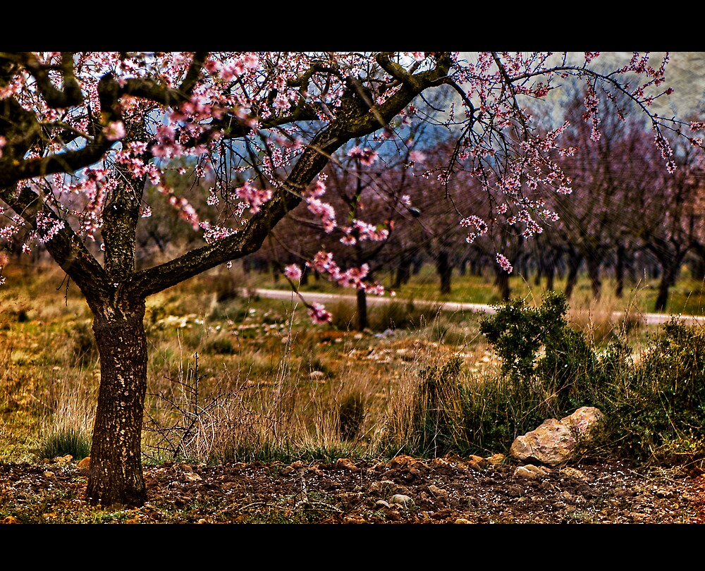 Almond in Spring by Manuel Gual
