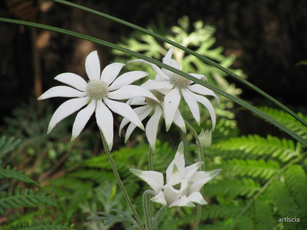flannel flowers by artiscia