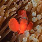Spinecheek Anemonefish by Andrew Trevor-Jones