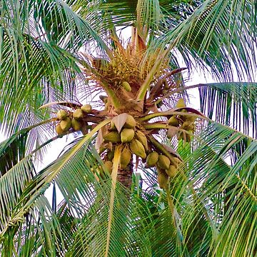 Coconut Palm Tree by TheLoner