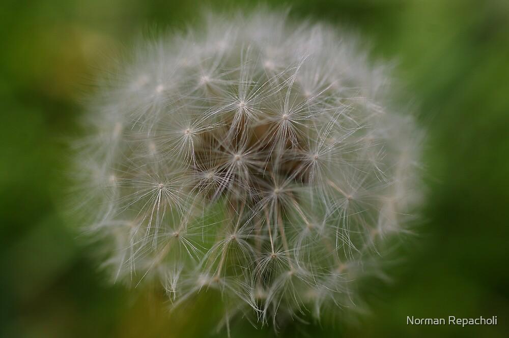 Dandelion by Norman Repacholi