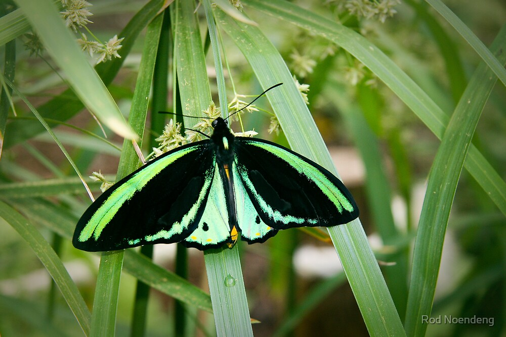 Green Butterfly by Rod Noendeng