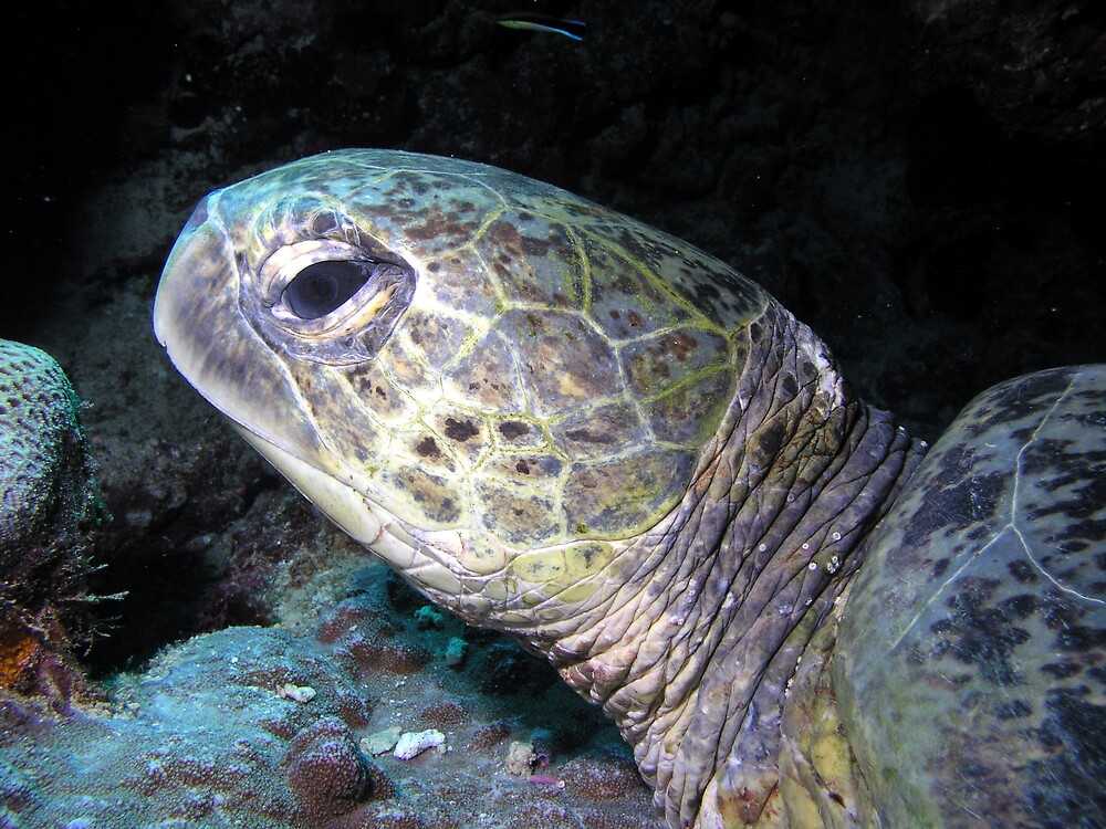 Green Sea Turtle by fergy