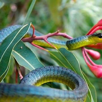 Bluish Green Tree Snake - Dendrelaphis punctulata by Normf