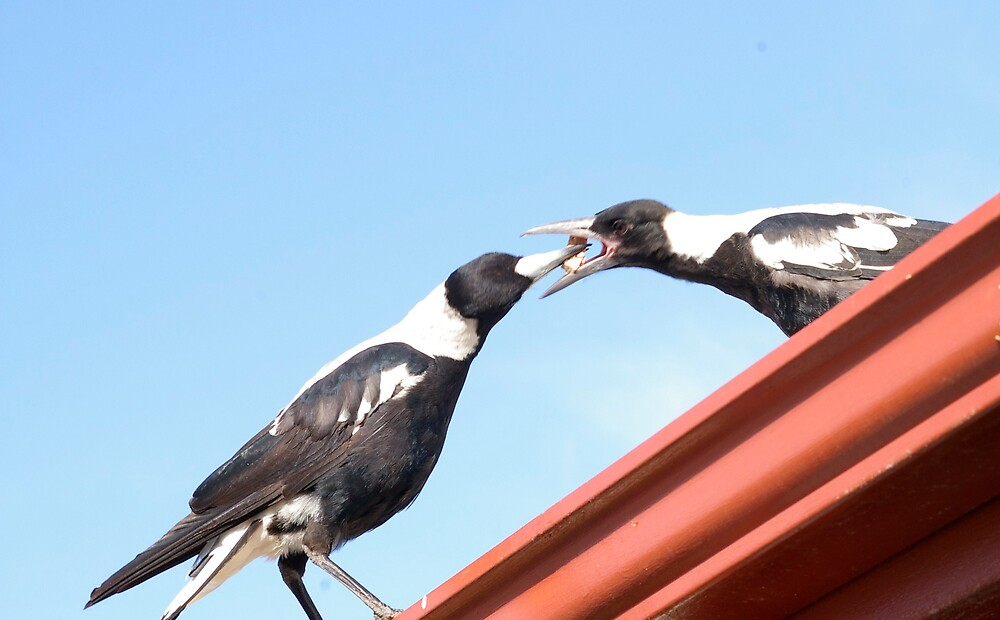 Magpie feeding it's young by janfoster