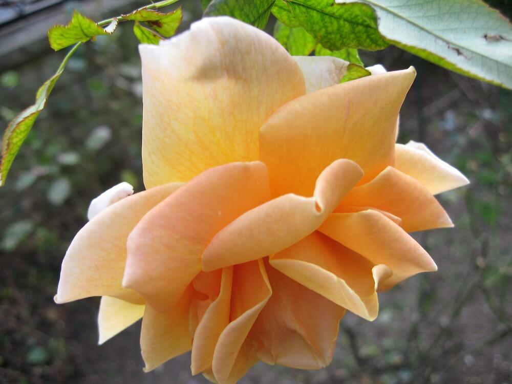 Roses by erdogan49
