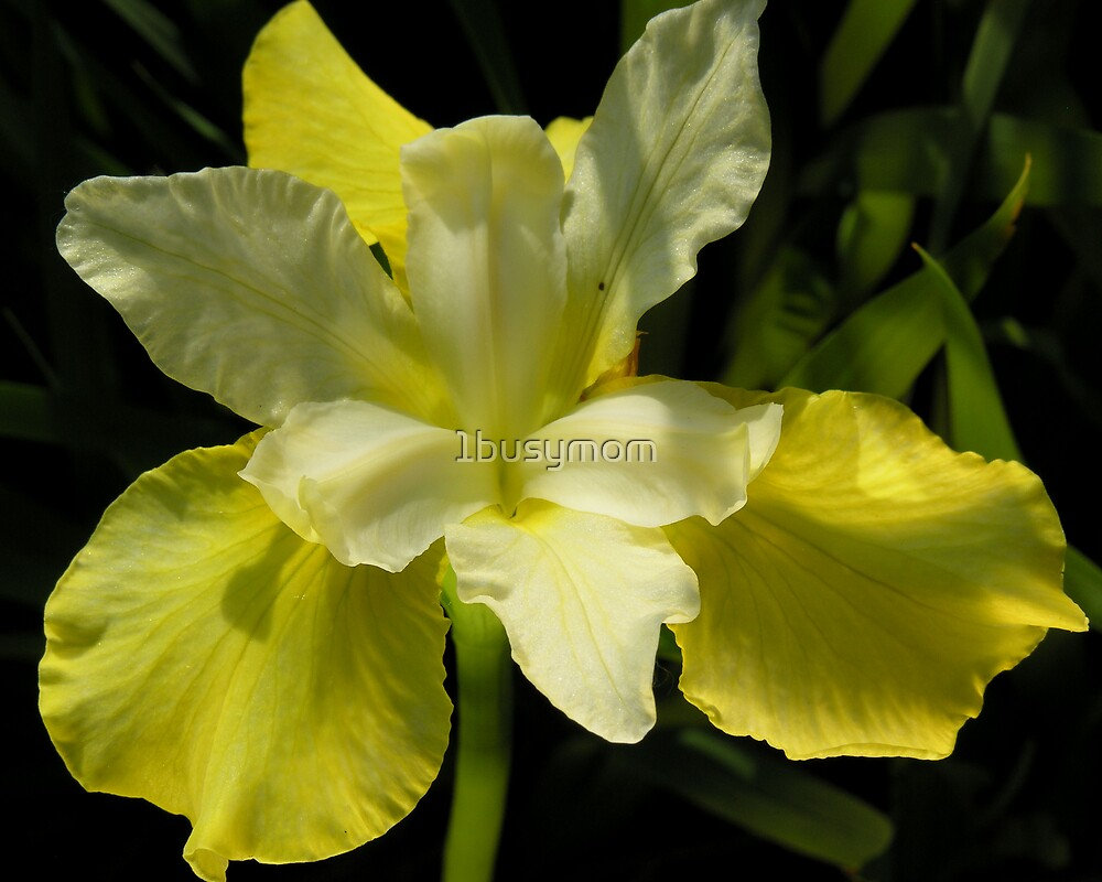 blooming yellow iris by 1busymom