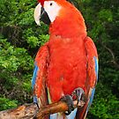 Scarlet Macaw by Nickolay Stanev