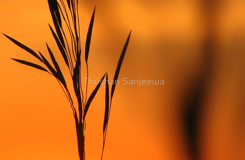 Wild grass at sunset by Thushan Sanjeewa