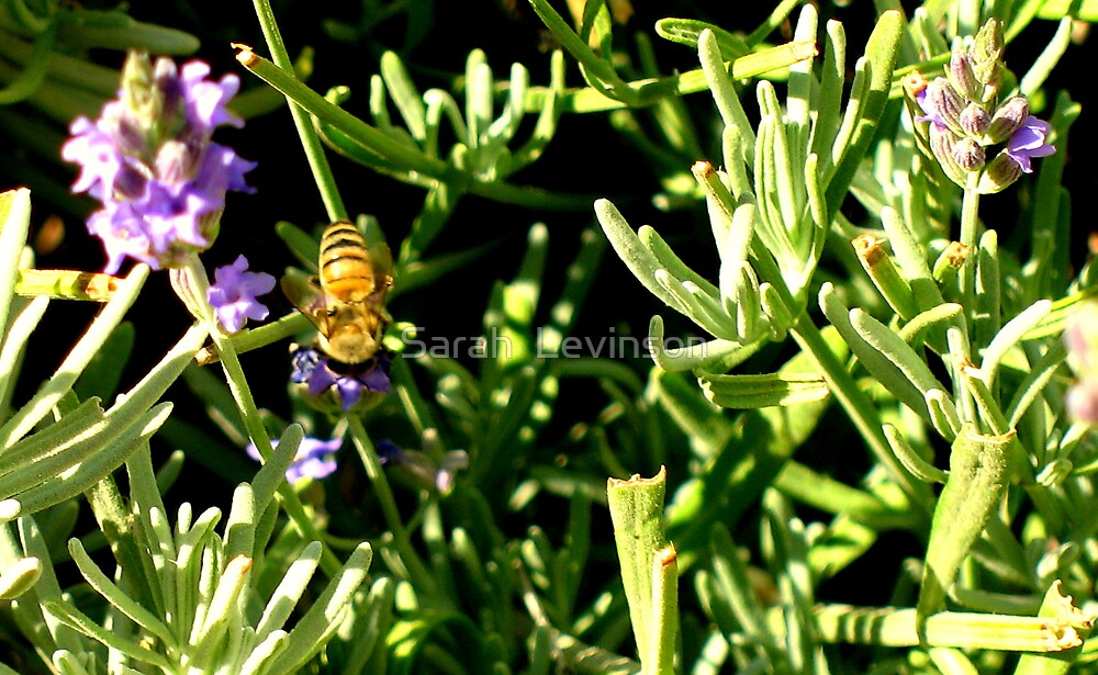 Bee on Rosemary by Sarah  Levinson