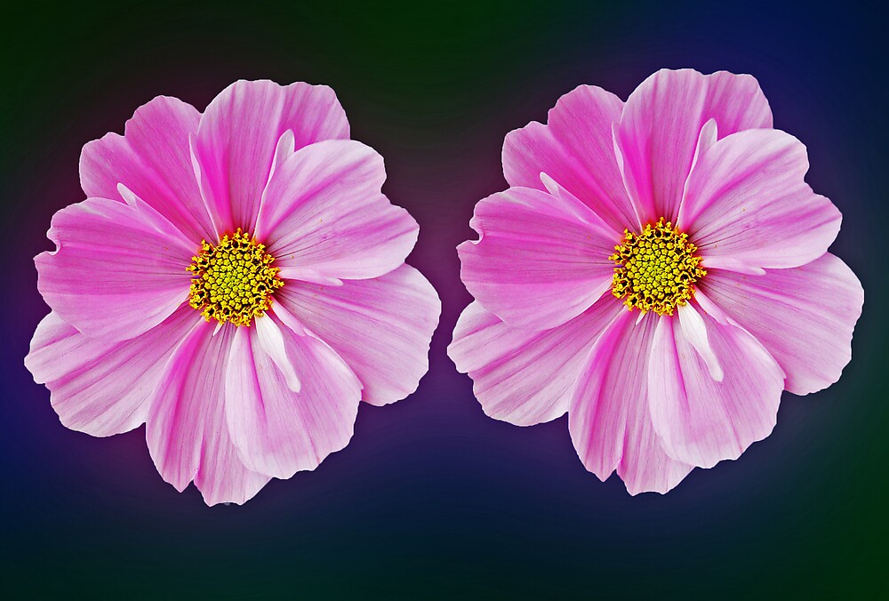 Twin pink cosmos by len Janes