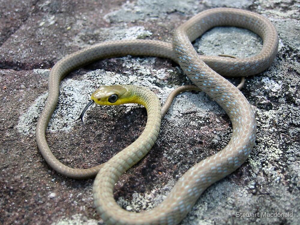 Common tree snake by Stewart Macdonald