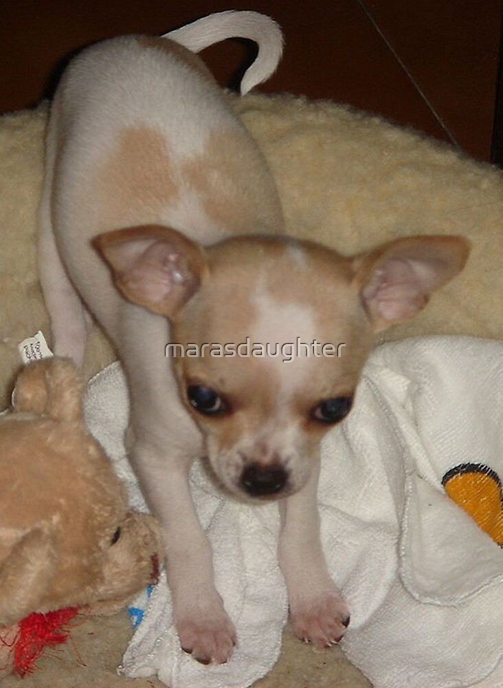 chihuahua puppy by marasdaughter