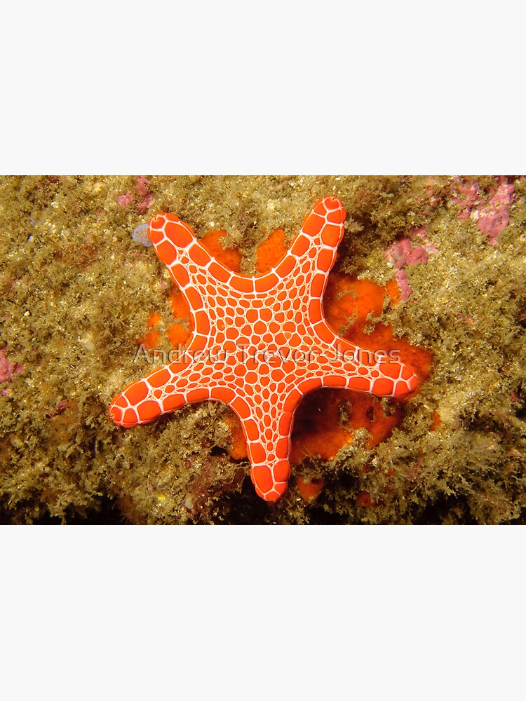 Red Brick Sea Star by andrewtj