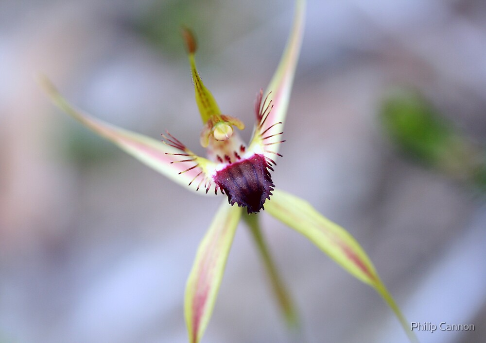 Carbunup Orchid by Philip Cannon