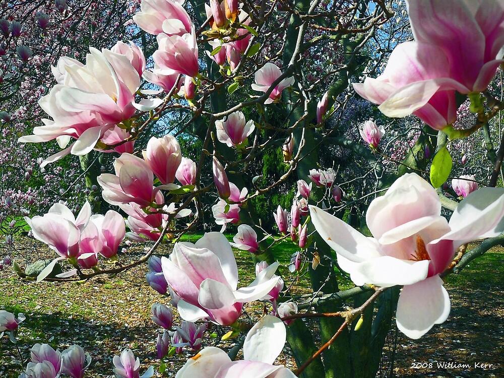 Magnolias by BillK