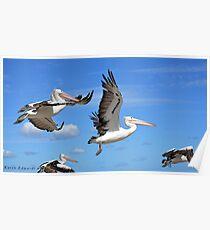 Pelicans Flying  Poster