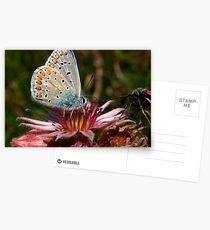 Azuré bleu et joubarbe Postcards