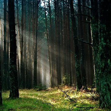Sunlight Forest by PhotoStore