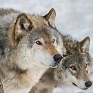 Timber Wolves In Winter by WolvesOnly