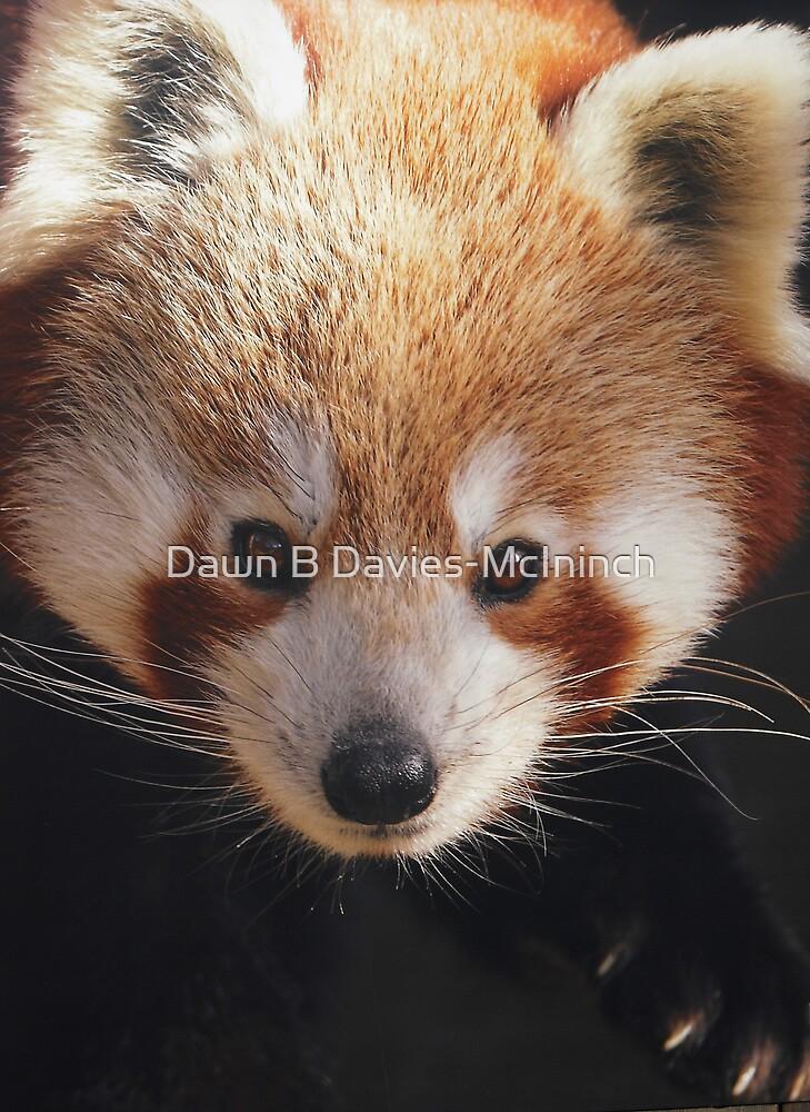Red Panda by Dawn B Davies-McIninch