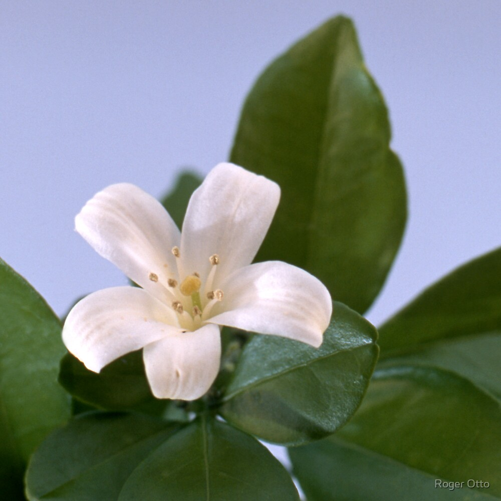 Single White Blossom by Roger Otto