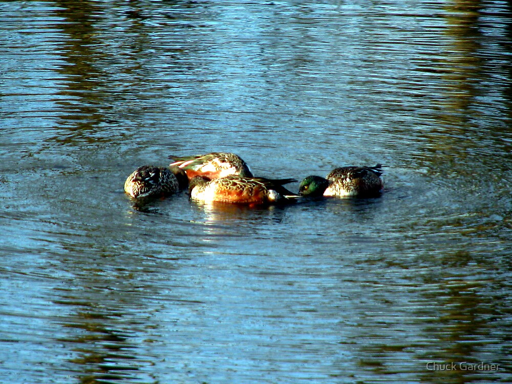 Oregon Duck Huddle by Chuck Gardner
