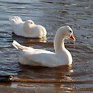 Dribbling Duck by dougie1