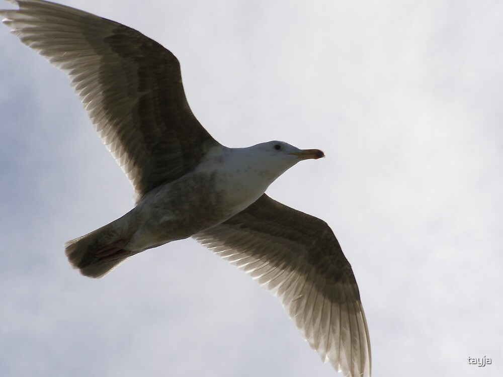 Seagull by tayja