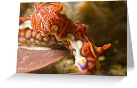 Miamira Magnifica Nudibranch by Dan Sweeney